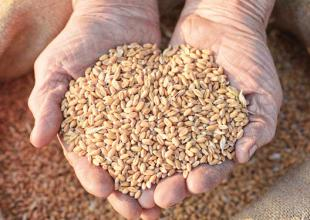 健康饮食|小麦入药养心护肠